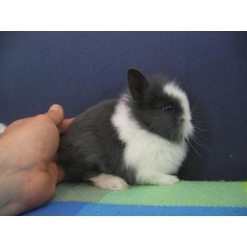 Śliczne króliki miniaturki lewek teddy ! Królik