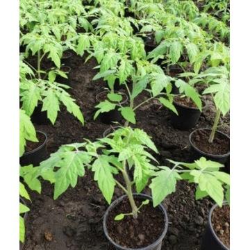 Pomidory sadzonki rozsady