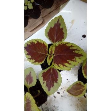 koleus coleus sadzonka pokrzywka kolory 3+1 gratis