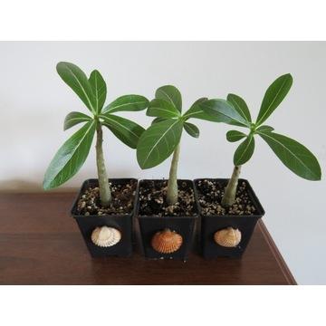 Adenium Obesum sadzonka miniBaobab + muszla GRATIS
