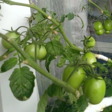Pomidor Frodo sadzonka wys.30..40cm WYPRZEDAŻ