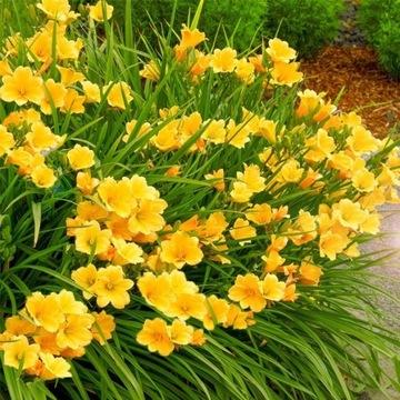Liliowiec, liliowce rózne odmiany