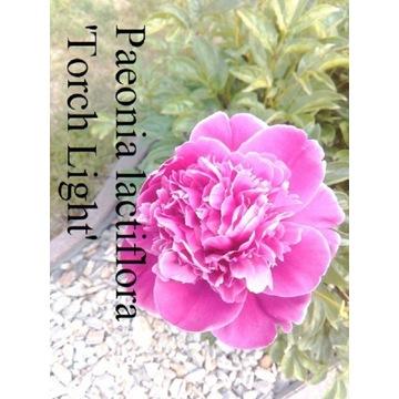 Piwonia Lacatiflora Toch Light bardzo duże kącza
