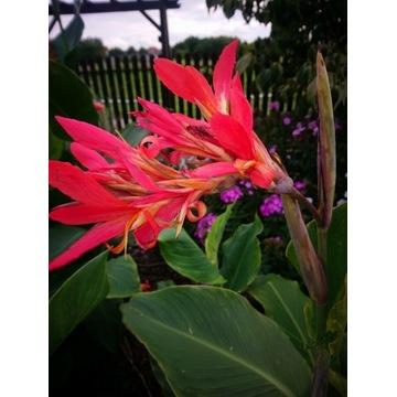 Kłącza kanny o arbuzowych kwiatach
