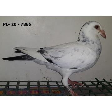 Gołębie pocztowe młode 2020 r