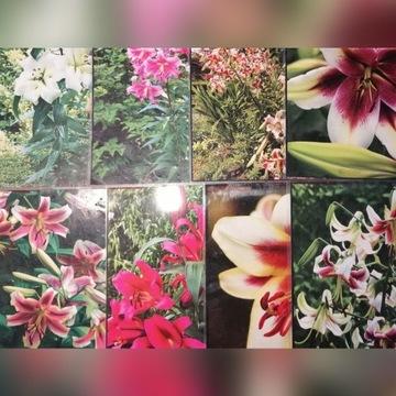 lilie drzewiaste