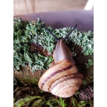 Pleurodonte marginella egzotyczny ślimak lądowy