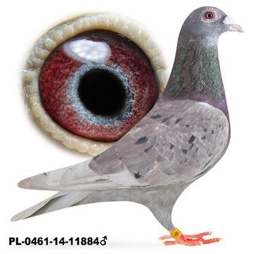 Samiec 2014 Czerwony Okaz gołąb gołębie pocztowe