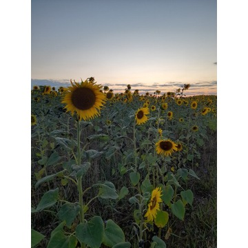 Kwiaty słonecznika / Słonecznik ozdobny