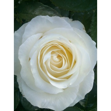 róża wielkokwiatowa  biała   80 cm Producent!!!!
