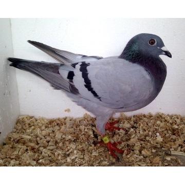 Gołębie pocztowe - samica 100% A&P Kulbacki