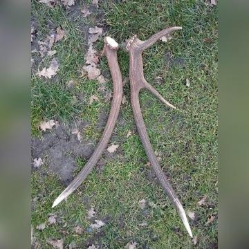Poroże jelenia zrzuty para myłkus