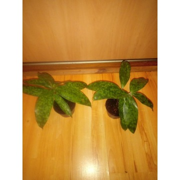 Dracaena surculosa Aurea' Dracena rozgałęziona