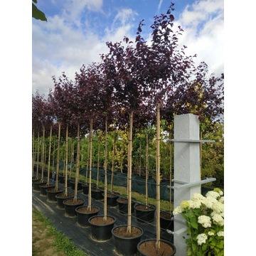 Śliwowiśnia Prunus Cerasifera Pisardii 140-200cm