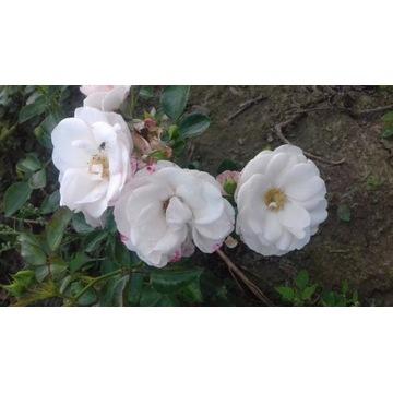 róża rabatowa biala