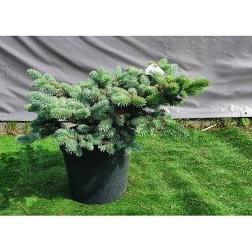 ŚWIERK KLUJĄCY GLAUCA GLOBOSA Picea pungens