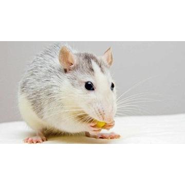 Szczury mrożone 10 sztuk 90/120g