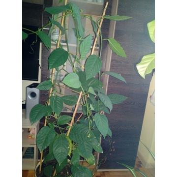 Passiflora alata sadzonka