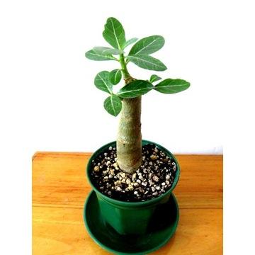 Adenium obesum - róża pustyni minibaobab +GRATIS