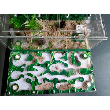 Fornikarium wraz z mrówkami Lasius Niger 200 sztuk