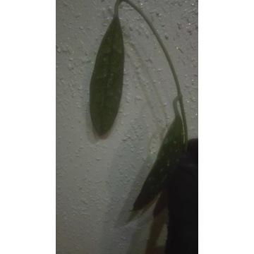 Hoya griffithii