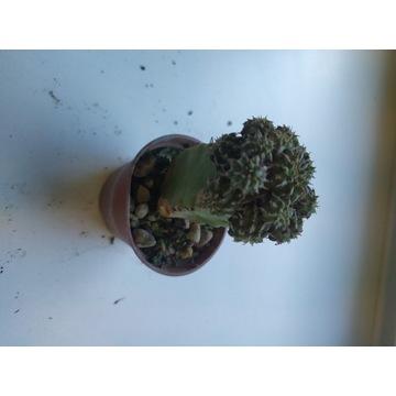 Kaktusy Euphorbia sepulta