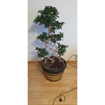 Ficus Retusa Bonsai, bardzo duży