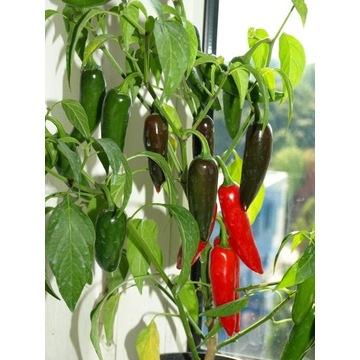 papryka chili jalapeno red nasiona