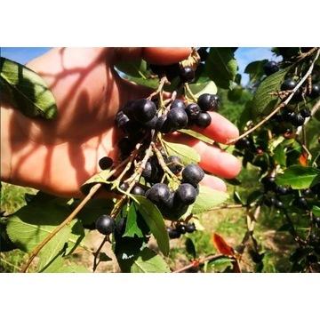 Aronia owoc EKO ręcznie rwana wysyłka Inpost