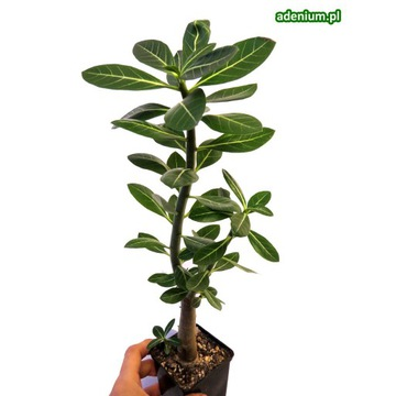 Adenium arabicum sadzonka duża + nawóz GRATIS