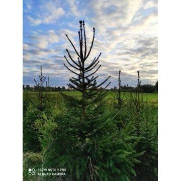 Świerk pospolity formowany cięty 140-280cm