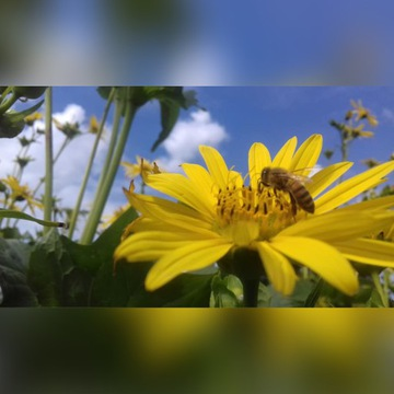 Rożnik przerośnięty - roślina jednoroczna 10 szt.