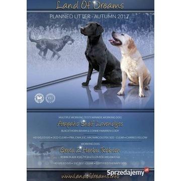 Labrador z rodowodem krycie (negocjacje)