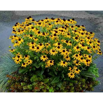 Rudbekia gold star