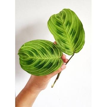 Maranta Light Veins - roślina kolekcjonerska