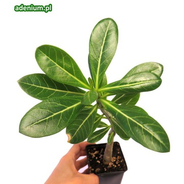 Adenium arabicum róża pustyni bonsai+ nawóz GRATIS