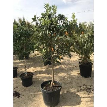Drzewo Cytrusowe / Kumkwata, Limonka, Cytryna