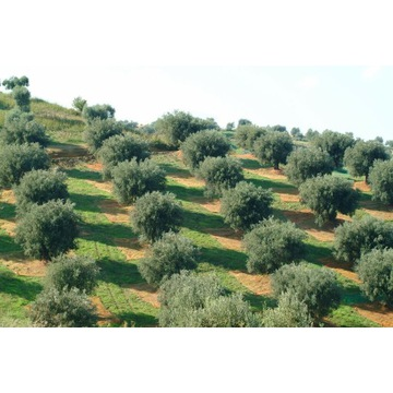 Naturalna oliwa z oliwek z własnego gospodarstwo