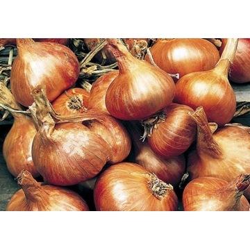 cebula kartoflanka bardzo stara odmiana