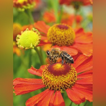 pszczoły zapylanie