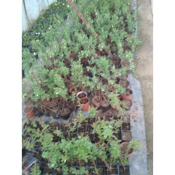 krzewy owocowe, winogron, porzeczka, borówka