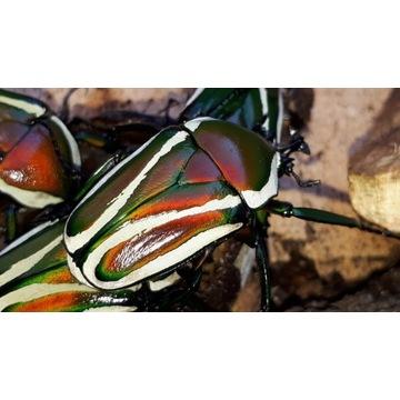Chrząszcze, Dicronorrhina, kruszczyce, modliszki