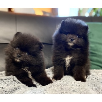 Szpic miniaturowy Pomeranian suczki z rodowodem
