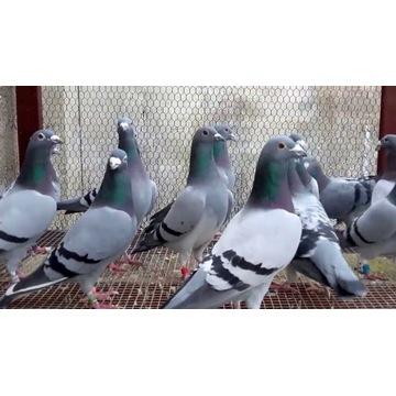 hodowla gołębi