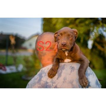 Szczeniaki Pitbull Red Nose