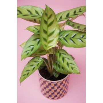 Calathea Kalatea LEOPARDINA roślina doniczkowa