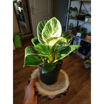 Roślina doniczkowa Filodendron Philodendron BIRKIN