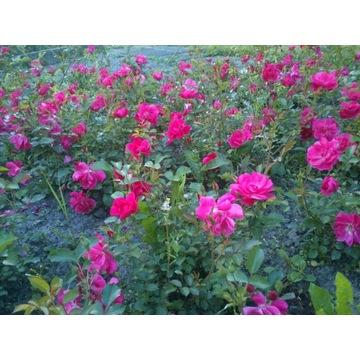 róża okrywowa różowa  Producent!!!!