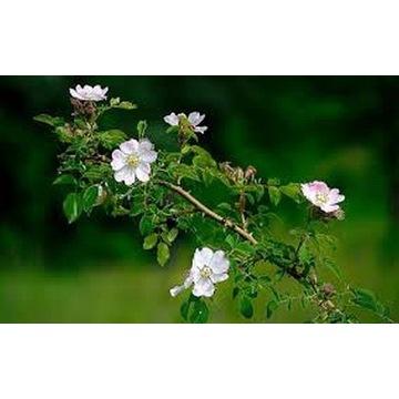 Dzika róża - Białe kwiaty - Sadzonka