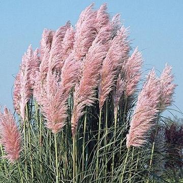 Trawa pampasowa biała różowa doniczka 2L ZESTAW 6